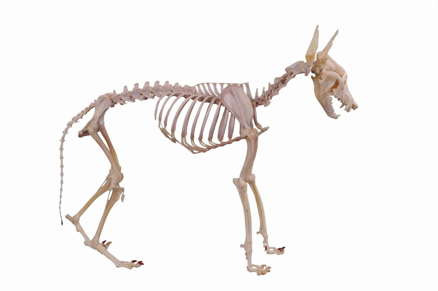 犬骨骼结构图高清